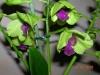 Orchidées et carnivores Orchid18