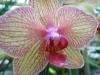 Orchidées et carnivores Orchis11