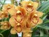 Orchidées et carnivores Orchis15