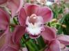 Orchidées et carnivores Orchis16