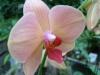 Orchidées et carnivores Orchis20