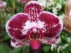 Orchidées et carnivores Orchis22
