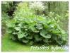 Plantes aquatiques Petasi11