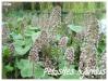 Plantes aquatiques Petasi13