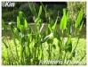 Plantes aquatiques Ponted12