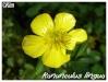 Plantes aquatiques Ranunc10