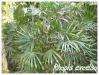 Palmiers et cycadales Rhapis10