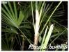 Palmiers et cycadales Rhapis11