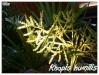 Palmiers et cycadales Rhapis13