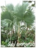Palmiers et cycadales Sabal_10