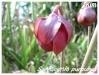 Orchidées et carnivores Sarrac10