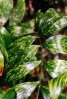 Palmiers et cycadales Zamia_10
