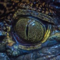 Alligator427.67
