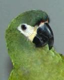 kookaboora