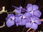 Violet_Orchid