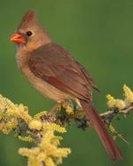 Cardinalus