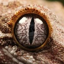 Lil Gecko