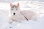 Снежный Волк