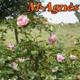 M-Agnès