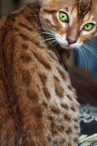 Leopardkit,