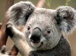 Koala obsédé