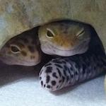 geckochick89