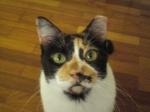 cats_and_corgi