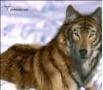 loup des bois