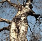 Danse avec les arbres