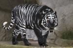 Onyx Tiger94