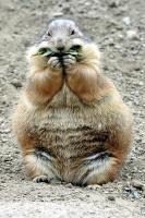 Filiber Marmotte