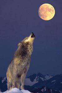 Wolfloup