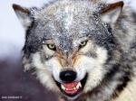 Grenwolf