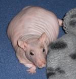 Rat-toki