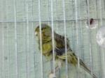 Canarinhos no Sótão