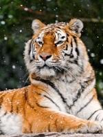 *Тигра*