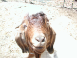 Mnt. Goat