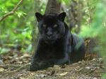 Pantherklaue