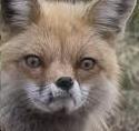 Actual Coyote