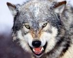 wolfitoox