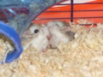 hamsterpassion