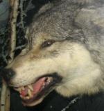 aaron_wolf