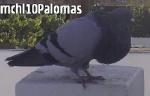 mchl10Palomas
