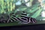 Zebra L046