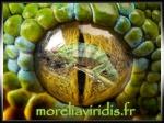 moreliaviridis.fr