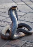 Cobrajetski