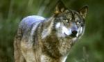 Wolfchrist