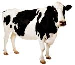 Cows_Go_Moo