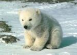 Osito Polar.db