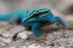 Salamandrus